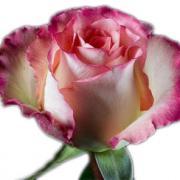 Роза Дуэт (Duet)