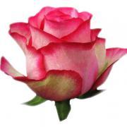 Роза Карусель (Karusely)