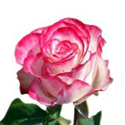 Роза Свитнес (Svitnes)