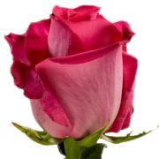 Роза Топаз (Topaz)
