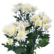 Хризантема Anastasia cream