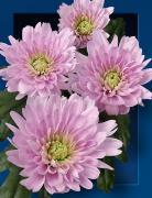 Хризантема Euro pink