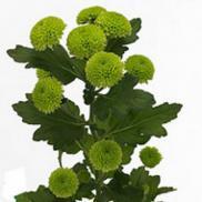 Хризантема Feeling green