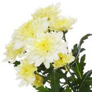 Хризантема Zembla Cream